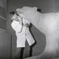 Bob Davey taxidermist in the Ulster Museum working on Peter the Polar bear but now paints under Hamilton Sloan name